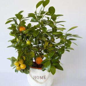 עציץ תפוז ננס